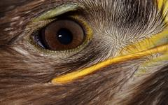 Golden eagle (aquila chrysaetos) portrait Stock Photos