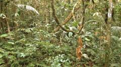Tangle of lianas hanging in the rainforest understory Stock Footage