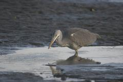 grey heron (ardea cinerea) with small fish - stock photo