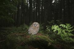 Tawny owl (strix aluco), fledgling on forest floor Stock Photos