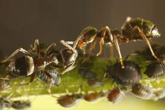 Ants and aphids (aphididae), germany Stock Photos