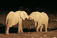 Elephants (loxodonta africana) at the illuminated waterhole okaukuejo in etos Stock Photos