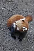Red panda (ailurus fulgens), schoenbrunn zoo, vienna, austria, europe Stock Photos