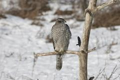 Goshawk (accipiter gentilis) in winter, perched in tree Stock Photos