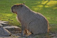 Capybara (hydrochaeris hydrochaeris), schoenbrunn zoo, vienna, austria, europ Stock Photos