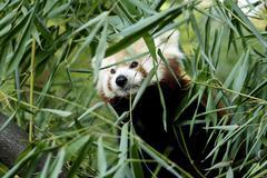 Red panda (ailurus fulgens) in bamboo, zoo duisburg, germany Stock Photos