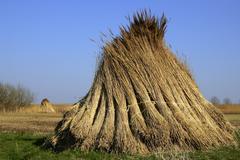 reed bundles - reed packs (phragmites australis) (phragmites communis) - stock photo