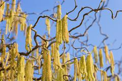 Corkscrew hazel (corylus avellana contorta), twig with flowers Stock Photos