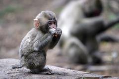 japanese macaque macaca fuscata - stock photo
