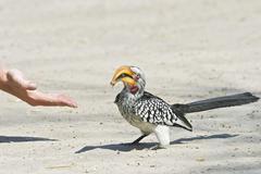 Stock Photo of yellow-billed hornbill (tockus flavirostris) feed from hand, central kalahari