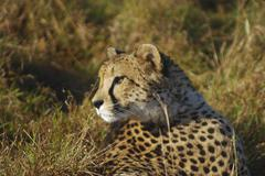 cheetah in the st. lucia wetland, phinda private game reserve, south africa - stock photo
