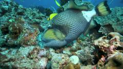 Titan triggerfish using its sharp teeth to bite off pieces of coral reef Stock Footage