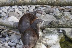 Oriental small-clawed otters (aonyx cinerea), schoenbrunn zoo, vienna, austri Stock Photos