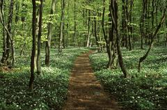 Stock Photo of beech forest, wood anemones, stenshuvud national park, skane, sweden