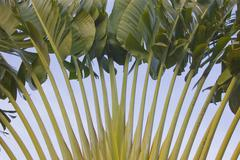 Traveller\'s tree or traveller\'s palm (ravenala madagascariensis) Stock Photos