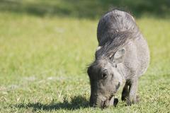 Stock Photo of warthog (phacochoerus africanus) etosha national park, namibia, africa