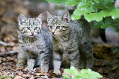 European wildcats (felis silvestris), cup, bavarian forest Stock Photos