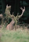 Red deer (cervus elaphus), grass stuck in its antlers, laying in the grass du Stock Photos