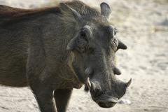 Stock Photo of warthog (phacochoerus africanus), botwana, africa