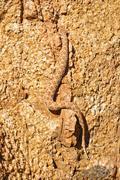 Snake - Genus (Cerastes), Tiras Mountain, Namibia, Africa - stock photo