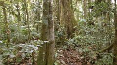 Walking to a large rainforest tree with buttress roots Stock Footage