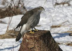 Goshawk (accipiter gentilis) in winter Stock Photos