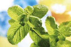 variegated apple mint or pineapple mint (mentha suaveolens variegata) - stock photo