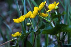 yellow marsh marigold - stock photo