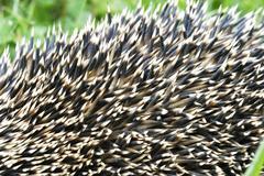 prickers of a hedgehog (erinaceus europaeus) - stock photo