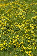yellow marsh marigold caltha palustris - stock photo