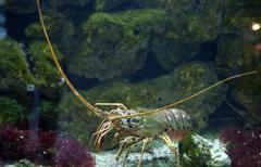lobster palinurus vulgaris mediteranian, aquarium berlin, germany - stock photo