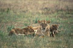Stock Photo of lioness ( panthera leo ) with suckling cubs - masai mara - kenya