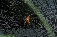 Spider web european garden spider araneus diadematus Stock Photos