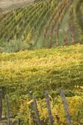 Stock Photo of near barbaresco alba vinyards with autum leaves piedmont piemonte italy