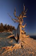 bizarre bristlecone pine at powell point, aquarius plateau, utah, usa - stock photo