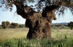 holm oak quercus ilex dehesa extremadura spain - stock photo