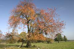 autumnale colored cherry tree on a meadow in the westerwald, hessen, germany - stock photo