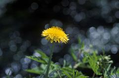 Common dandelion taraxacum officinale germany Kuvituskuvat