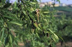 Almond tree with almonds spain Stock Photos