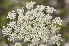 Hoverfly epistrophe balteata on flower of wild carrot - daucus carota - germa Stock Photos