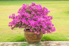Bougainvillea in pot. Stock Photos
