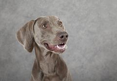 portrait of three years old weimaraner dog - stock photo