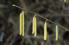Catkins of hazel corylus avellana germany Stock Photos