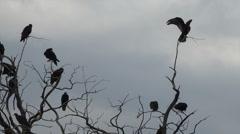 Buzzards in dead tree limbs watching dead animal HD 119 Stock Footage