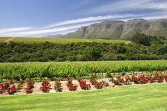 view from rust en vrede estate over the rose flower garden to the grapevine i - stock photo