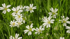 Cerastium flowers (mouse-ear chickweed) on meadow close up Stock Footage