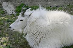 Stock Photo of mountain goat oreamnos americanus zoo herberstein styria austria