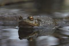 toad (bufo bufo) get into water for marrying - stock photo