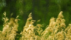 Phragmites (common reed) swaying in the wind Stock Footage