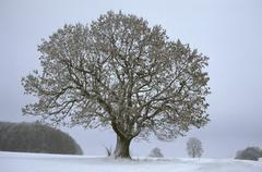 Big old oak covered with snow in fallow winter landscape, near kuchalb, dictr Stock Photos